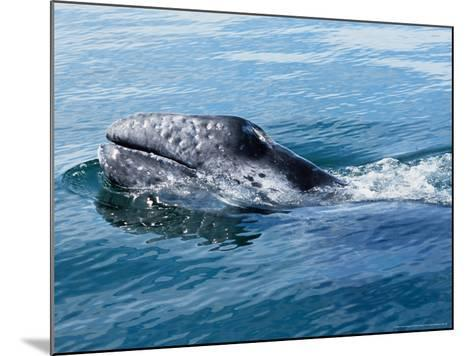 Grey Whale, Porpoising, Mexico-Gerard Soury-Mounted Photographic Print