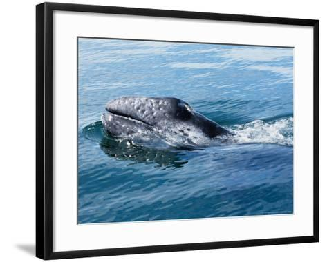 Grey Whale, Porpoising, Mexico-Gerard Soury-Framed Art Print