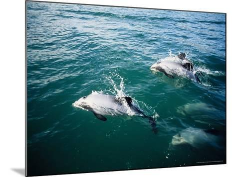 Hectors Dolphins, Porpoising, New Zealand-Gerard Soury-Mounted Photographic Print
