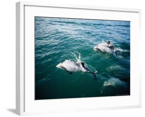Hectors Dolphins, Porpoising, New Zealand-Gerard Soury-Framed Art Print