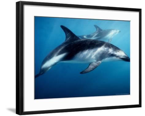 Dusky Dolphin, Underwater, New Zealand-Gerard Soury-Framed Art Print