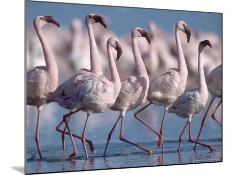 Greater Flamingos, Lake Nakuru, Kenya-Roy Toft-Mounted Photographic Print