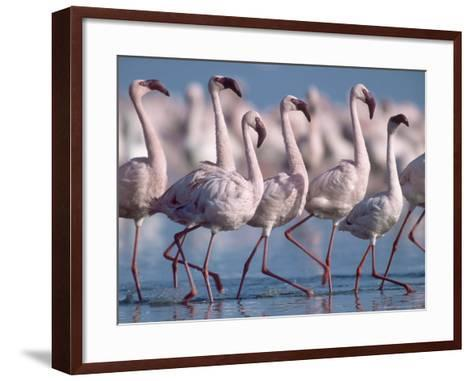 Greater Flamingos, Lake Nakuru, Kenya-Roy Toft-Framed Art Print