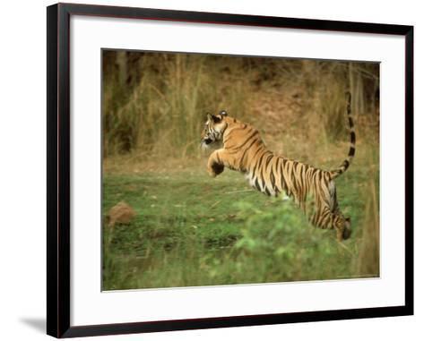 Tiger, Leaping, India-Satyendra K^ Tiwari-Framed Art Print