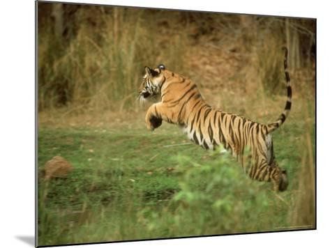 Tiger, Leaping, India-Satyendra K^ Tiwari-Mounted Photographic Print