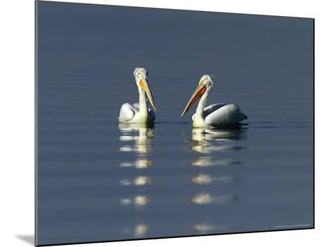 Dalmatian Pelicans, Adults, Greece-David Tipling-Mounted Photographic Print