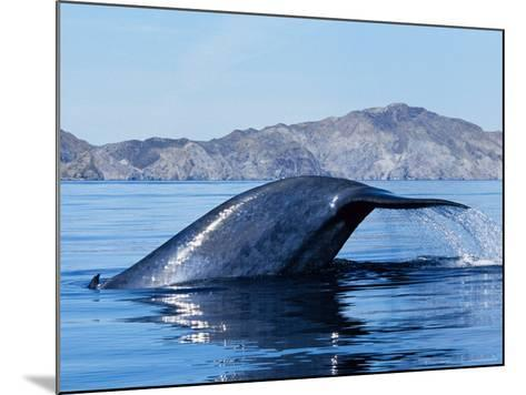 Blue Whale, Raising Fluke, Sea of Cortez-Gerard Soury-Mounted Photographic Print