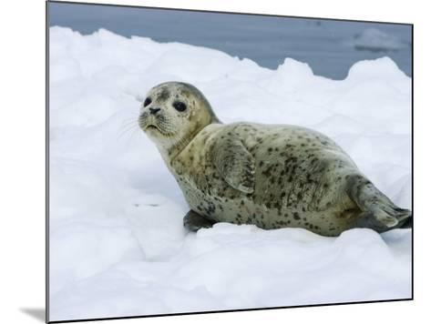 Harbor Seal, Young Seal Lying in Snow, Japan-Roy Toft-Mounted Photographic Print