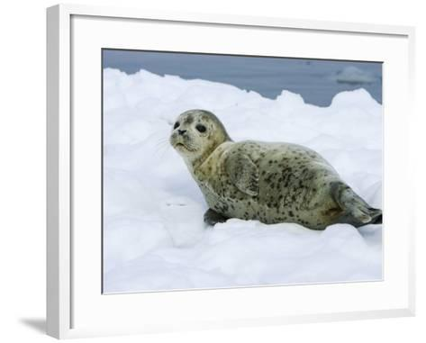 Harbor Seal, Young Seal Lying in Snow, Japan-Roy Toft-Framed Art Print