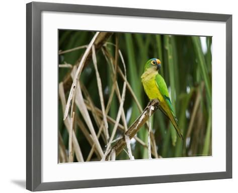 Peach-Fronted Parakeet, Parakeet Perched on Leafy Branch, Brazil-Roy Toft-Framed Art Print
