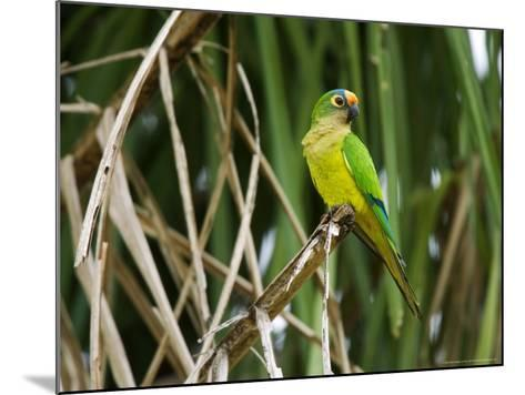 Peach-Fronted Parakeet, Parakeet Perched on Leafy Branch, Brazil-Roy Toft-Mounted Photographic Print