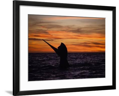 Southern Right Whale, Female at Sunset, Valdes Penin-Gerard Soury-Framed Art Print