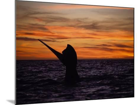 Southern Right Whale, Female at Sunset, Valdes Penin-Gerard Soury-Mounted Photographic Print