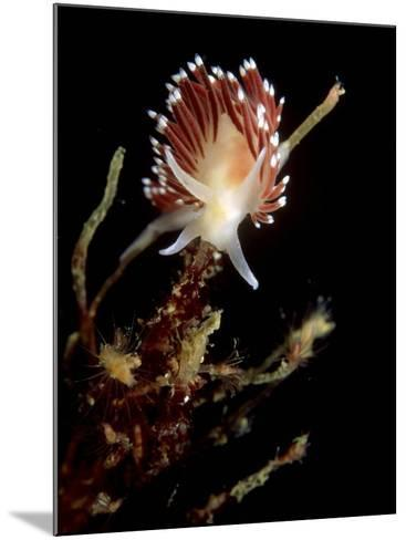 Flabellina Nudibranch, Feeding, UK-Mark Webster-Mounted Photographic Print