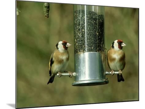 Goldfinch, Pair Feeding on Birdfeeder, UK-Ian West-Mounted Photographic Print