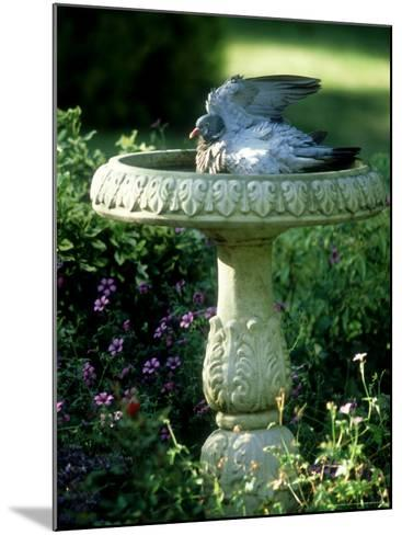 Wood Pigeon in Birdbath, UK-Ian West-Mounted Photographic Print