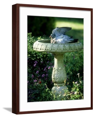 Wood Pigeon in Birdbath, UK-Ian West-Framed Art Print