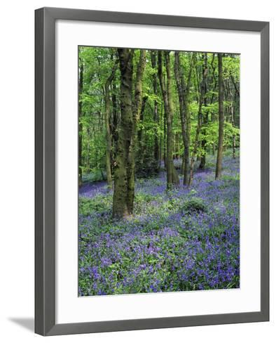 Bluebells in Deciduous Woodland, UK-Mark Hamblin-Framed Art Print