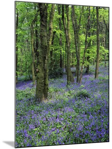 Bluebells in Deciduous Woodland, UK-Mark Hamblin-Mounted Photographic Print
