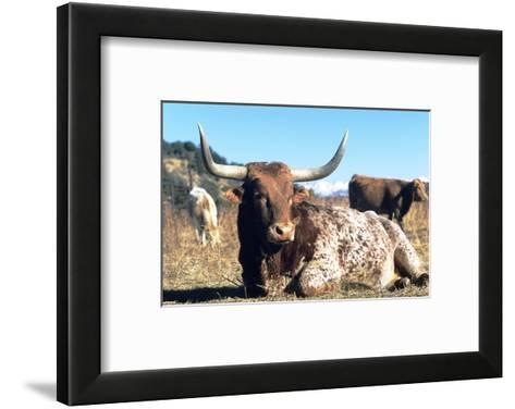 Texas Longhorn, Resting, Colorado, USA-Philippe Henry-Framed Art Print