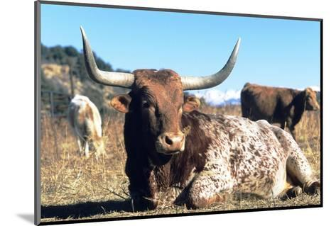 Texas Longhorn, Resting, Colorado, USA-Philippe Henry-Mounted Photographic Print