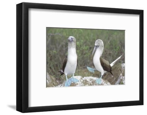 Blue Footed Booby, Elaborate Courtship Dance, Galapagos-Mark Jones-Framed Art Print