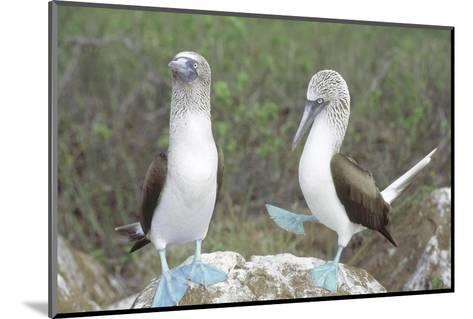 Blue Footed Booby, Elaborate Courtship Dance, Galapagos-Mark Jones-Mounted Photographic Print