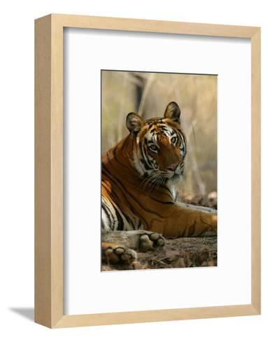 Bengal Tiger, Female Resting, Madhya Pradesh, India-Elliot Neep-Framed Art Print