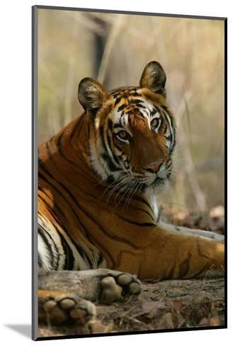 Bengal Tiger, Female Resting, Madhya Pradesh, India-Elliot Neep-Mounted Photographic Print