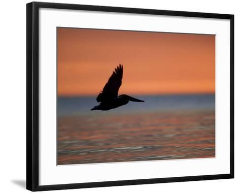 Brown Pelican, Flying, USA-Olaf Broders-Framed Art Print