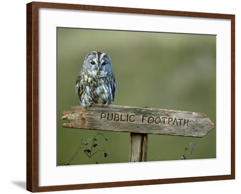 Tawny Owl, Perched on Public Footpath Sign, Scotland-Jonathan Gale-Framed Art Print