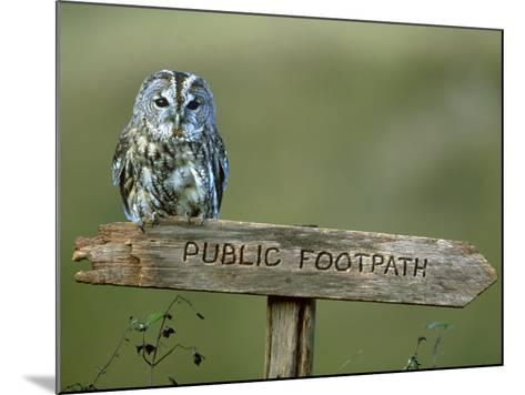 Tawny Owl, Perched on Public Footpath Sign, Scotland-Jonathan Gale-Mounted Photographic Print