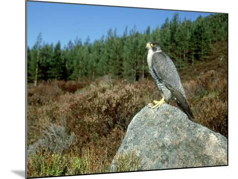 Peregrine Falcon, Strathspey, UK-Mark Hamblin-Mounted Photographic Print