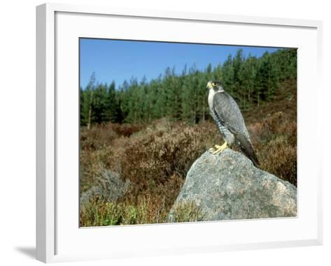 Peregrine Falcon, Strathspey, UK-Mark Hamblin-Framed Art Print