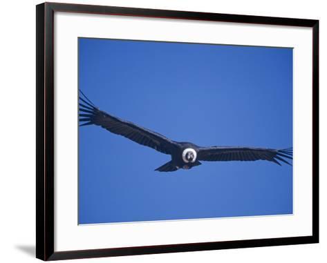 Andean Condor, Peru-Mark Jones-Framed Art Print