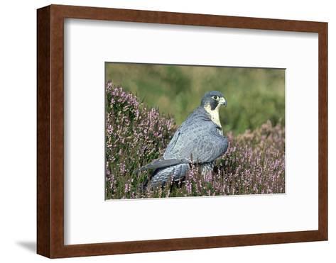 Peregrine Falcon on Heather in Flower, UK-Mark Hamblin-Framed Art Print
