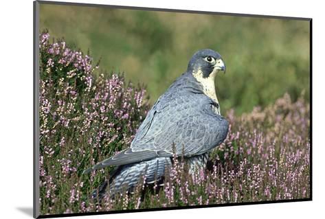 Peregrine Falcon on Heather in Flower, UK-Mark Hamblin-Mounted Photographic Print