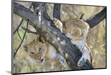 African Lion, Young Cub Climbing Tree, Southern Africa-Mark Hamblin-Mounted Photographic Print