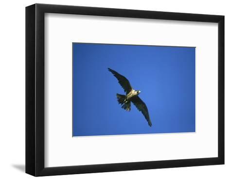 Peregrine Falcon, Falco Peregrinus Immature Female in Flight Scotland, UK-Mark Hamblin-Framed Art Print