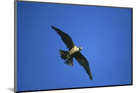 Peregrine Falcon, Falco Peregrinus Immature Female in Flight Scotland, UK-Mark Hamblin-Mounted Photographic Print