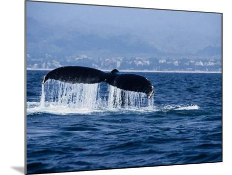 Humpback Whale, Raising Flukes-Gerard Soury-Mounted Photographic Print