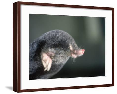 Mole, Talpa Europaea-Les Stocker-Framed Art Print