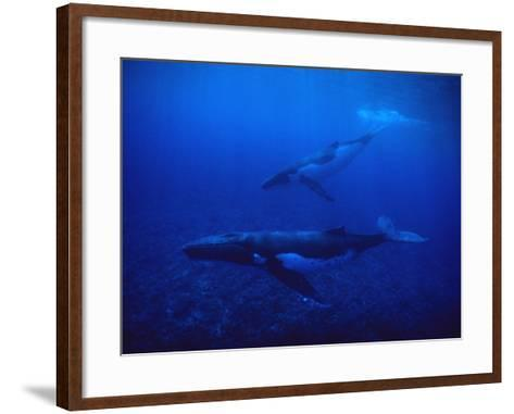 Humpback Whale, Mother and Calf, Polynesia-Gerard Soury-Framed Art Print