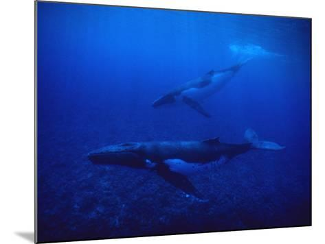 Humpback Whale, Mother and Calf, Polynesia-Gerard Soury-Mounted Photographic Print