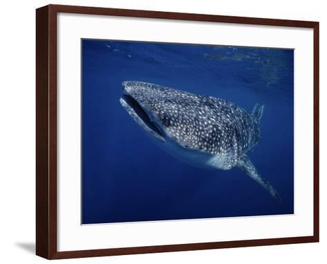 Whale Shark, Swimming, Australia-Gerard Soury-Framed Art Print