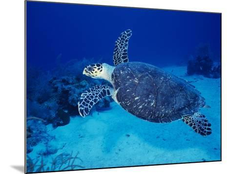 Hawksbill Turtle, Swimming Grand Caicos, Caribbean-Gerard Soury-Mounted Photographic Print