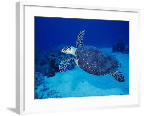 Hawksbill Turtle, Swimming Grand Caicos, Caribbean-Gerard Soury-Framed Art Print