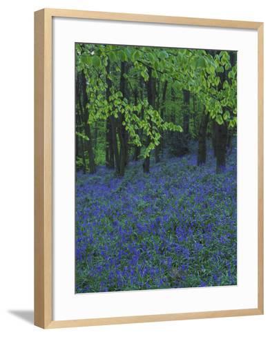 Bluebells, En Masse in Beech Woodland, UK-Mark Hamblin-Framed Art Print