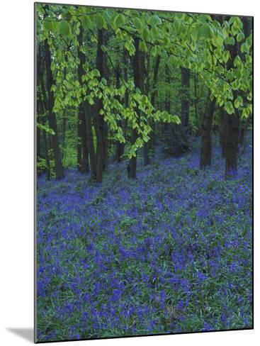 Bluebells, En Masse in Beech Woodland, UK-Mark Hamblin-Mounted Photographic Print