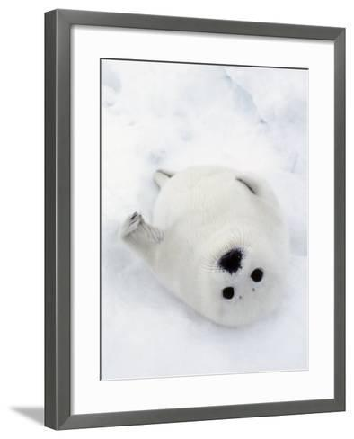 Harp Seal, Pup in Favorite Position on Its Back on Ice Pack, Nova Scotia, Canada-Daniel J. Cox-Framed Art Print